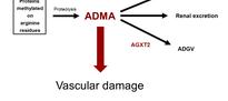 ADMA - Asymmetric dimethylarginine